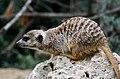 50 Jahre Knie's Kinderzoo - Suricata suricatta (Erdmännchen) 2012-10-03 16-29-22.JPG