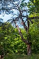 71-220-5060 Gogol Pine DSC 7112.jpg