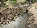 9664jfDomesticated ducks Nueva Ecijafvf 04.JPG