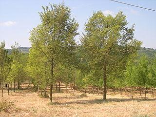 <i>Ulmus</i> Arno Elm cultivar