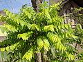 A Amla tree.JPG
