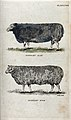 A Dishley ram and a Dishley ewe. Coloured stipple engraving Wellcome V0021704.jpg