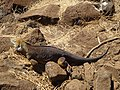 A Galapagos Land Iguana on the North Seymour Island in the Galapagos photo by Alvaro Sevilla Design.JPG