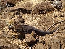 Galápagos Iguana. - Nord Seymour Isola