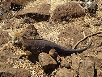 North Seymour Island - Image: A Galapagos Land Iguana on the North Seymour Island in the Galapagos photo by Alvaro Sevilla Design