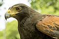 A Harris Hawk (19748011085).jpg