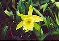 A and B Larsen orchids - Brassolaeliocattleya Ports of Paradise Emerald Isle 889-8.jpg