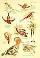 A book of birds (Plate XXII) (6021712491).jpg