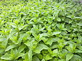 A crop of mint.jpg
