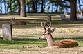 A deer in Ross Bay Cemetery, Victoria, British Columbia, Canada 08.jpg