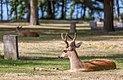 A deer in Ross Bay Cemetery, Victoria, British Columbia, Canada 08.jpg