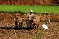 A farmer farming with water buffaloes Koraput.jpg
