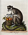 A mongoose sitting next to a basket of fruit. Coloured etchi Wellcome V0020556.jpg