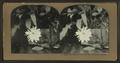 A night blooming flower of the Sandwich Islands, from Robert N. Dennis collection of stereoscopic views.png