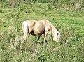 A pale horse - geograph.org.uk - 555708.jpg