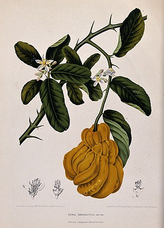 Citron - Illustration of fingered citron with the leaves and thorns that are common to all varieties of citron.