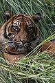 A tiger in Diergaarde Blijdorp.jpg