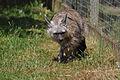 Aardwolf (Hamerton Zoo Park).jpg