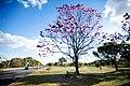 Aberta a temporada de ipês roxos em Brasília (28967970658).jpg