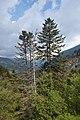 Abies alba, Les Pardines, Andorra 250.jpg