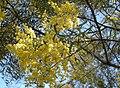 Acacia decora foliage and flowers.jpg
