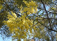 Acacia decora foliage and flowers