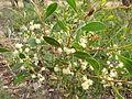 Acacia penninervis (5365030551).jpg