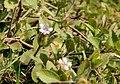 Acanthecae- Host plant of Zizula hylax (Fabricius, 1775) – Tiny Grass Blue Acanthecae Ds2325.jpg