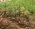 Acebo en la senda de los Ecosistemas (2 de mayo de 2015, parque natural Sierra Norte de Guadarrama) 01.jpg