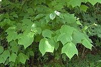 Acer pensylvanicum leaves