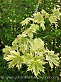 Acer platanoides 'Drumondii' (9653799356).jpg