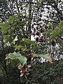 Acer pseudoplatanus 55075121.jpg