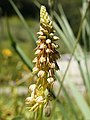 Aceras anthropophora (flower spike).jpg