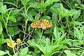 Acraea violae - Tawny Coster at Peravoor (7).jpg