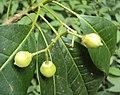 Acronychia pedunculata flowers 05.JPG