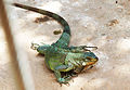 Adult.lizard.1466