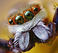 Adult Male Hentzia palmarum Jumping Spider.jpg