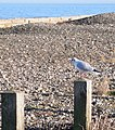 Adult winter black-headed gull, Llanddulas beach - geograph.org.uk - 1071254.jpg