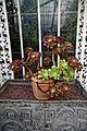 Aeonium arboreum 'Atropurpureum' at Myddelton House, Enfield, London.jpg
