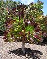 Aeonium arboreum kz1.JPG