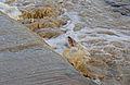 African Catfish (Clarias gariepinus) jumping to gain the upper Mlondozi River ... (15897980054).jpg