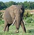 African Elephant (Loxodonta africana) bull ... (33016151298).jpg