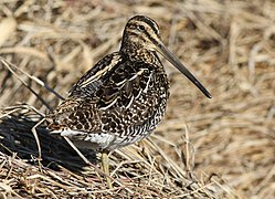 African Snipe, Gallinago nigripennis at Marievale Nature Reserve, Gauteng,South Africa (20896625024).jpg