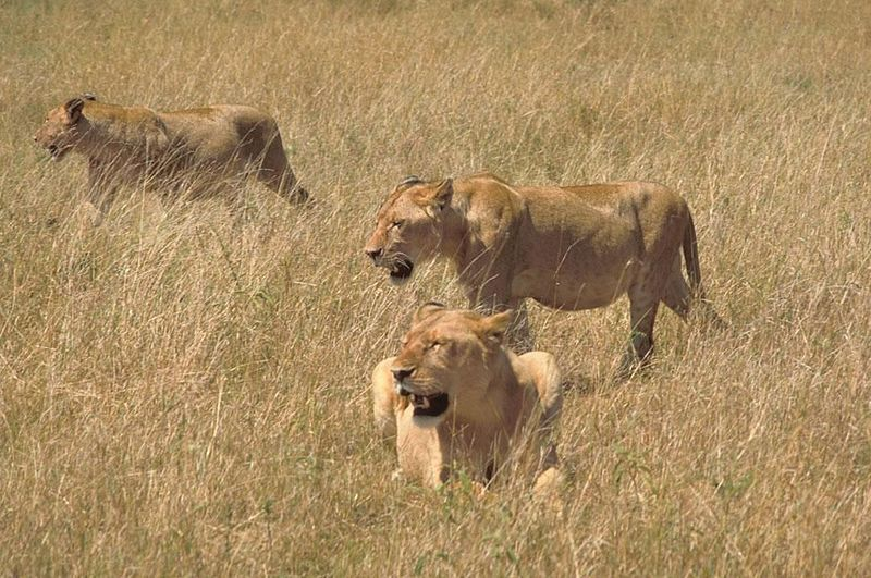 Archivo:African lions in hunting.jpg