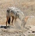 African wolf digging 1.jpg