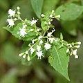 Ageratina altissima SCA-5476.jpg