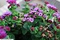 Ageratum houstonianum Artist Purple 1zz.jpg