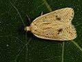 Agonopterix kaekeritziana (40813454072).jpg