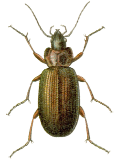 Agonum gracilipes.png