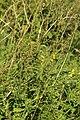 Agrimonia eupatoria (36677406472).jpg